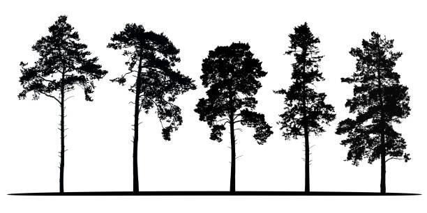 ilustrações, clipart, desenhos animados e ícones de conjunto de silhuetas vetor realista de coníferas - isoladas no fundo branco - alto descrição geral