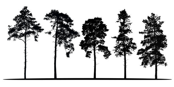 Set of realistic vector silhouettes of coniferous trees - isolated on white background Set of realistic vector silhouettes of coniferous trees - isolated on white background pine tree stock illustrations
