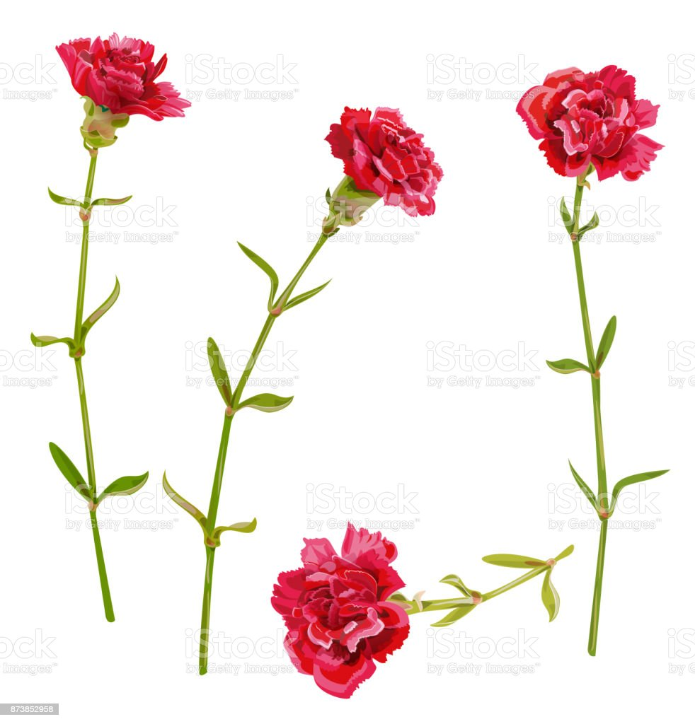 Set of red carnation schabaud flower, green stem, leaves on white background, collection for Mother's Day, victory day, digital draw, vintage illustration, vector
