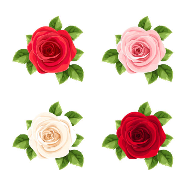 Set of red, pink and white roses. Vector illustration. Vector set of red, pink and white roses isolated on a white background. rose flower stock illustrations
