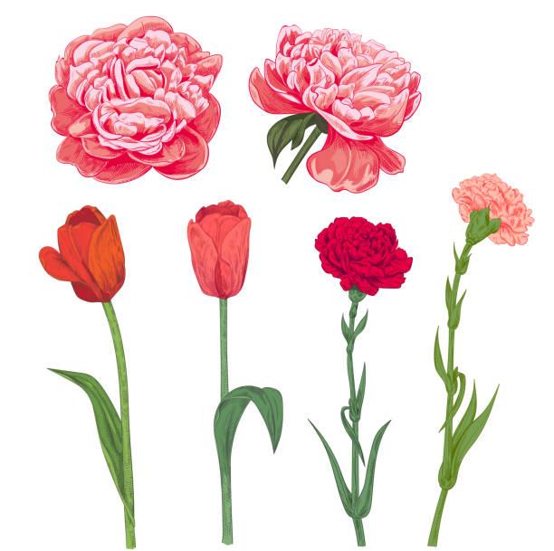 satz von rot, rosa frühling garten blumen: nelke, pfingstrose, tulpe auf weißem hintergrund. hand zu zeichnen illustrationen für design, stil vintage sketch, botanische vektor gravur - zeichensetzung stock-grafiken, -clipart, -cartoons und -symbole
