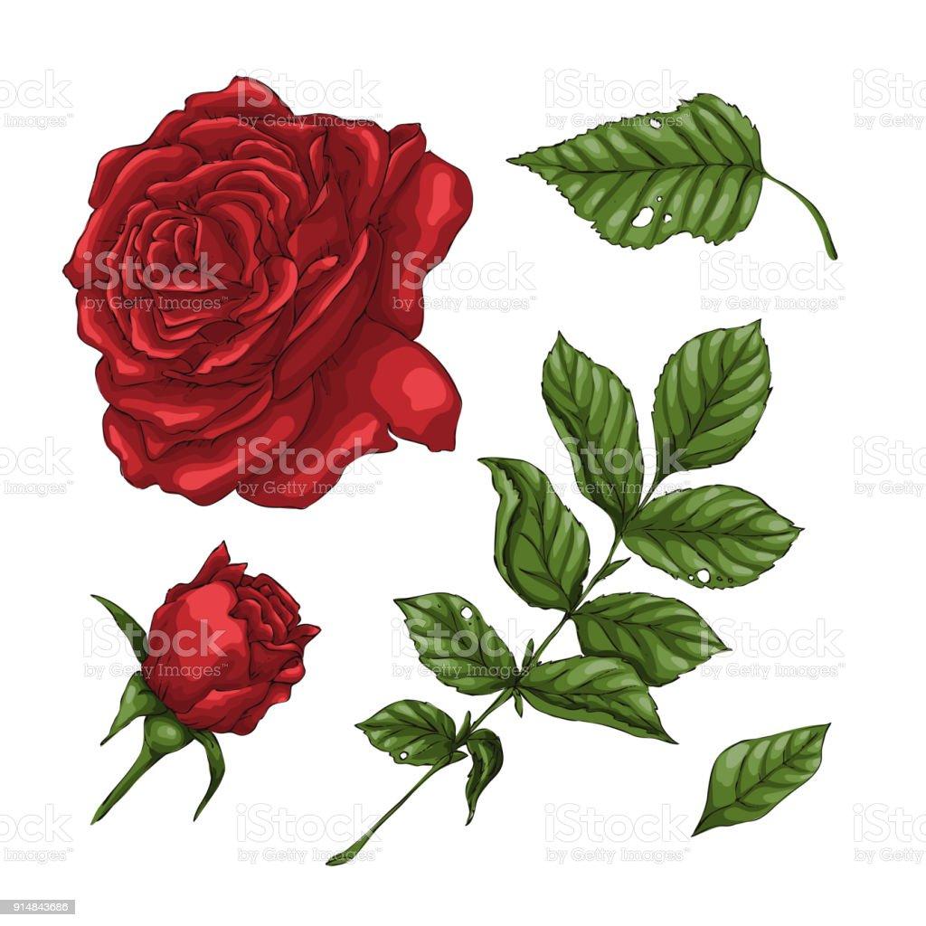 Ensemble De Fleur Rose Rouge Les Bourgeons Et Les Feuilles Isole Sur