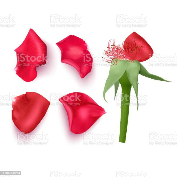 Set of rose petals in realistic style on white background vector of vector id1154865251?b=1&k=6&m=1154865251&s=612x612&h=wljxpremg3qxvzm4mnnuj5q3h9bb1jsrt3sd3py1y 8=