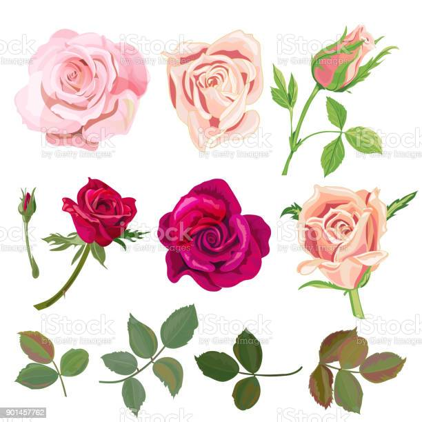 Set of roses pink red flowers and buds green leaves on white digital vector id901457762?b=1&k=6&m=901457762&s=612x612&h=vunh f9z6stgnlwk6o0mlfmohgietvqgohyd4spgi1o=