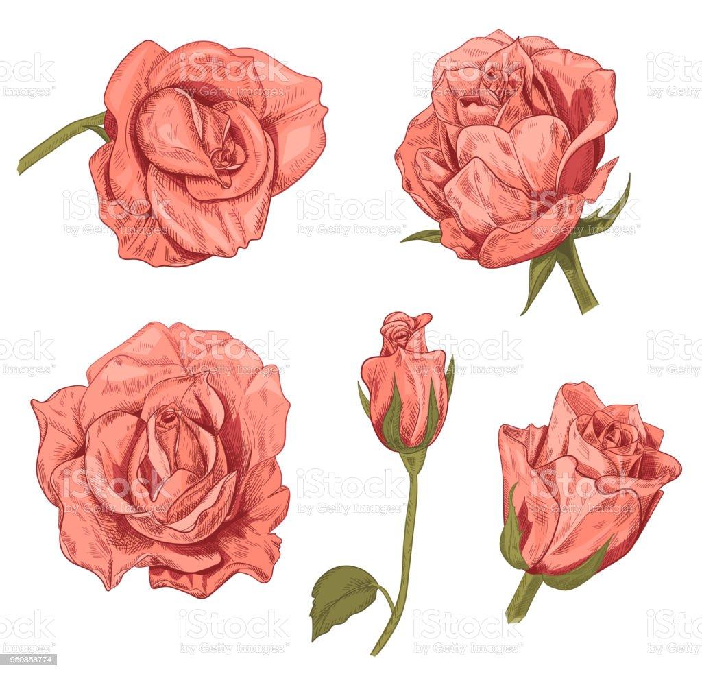 Ilustración De Conjunto De Rosas Rosas Flores Rojas Y Brotes Sobre