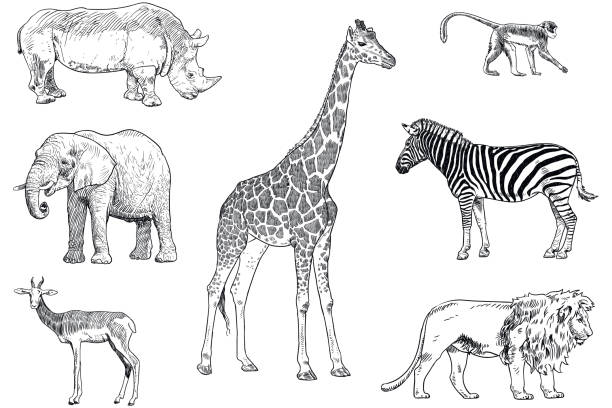 satz von safari tiere vektorzeichnungen. affe, nashorn, elefant, impala, giraffe, zebra und löwe - zebras stock-grafiken, -clipart, -cartoons und -symbole