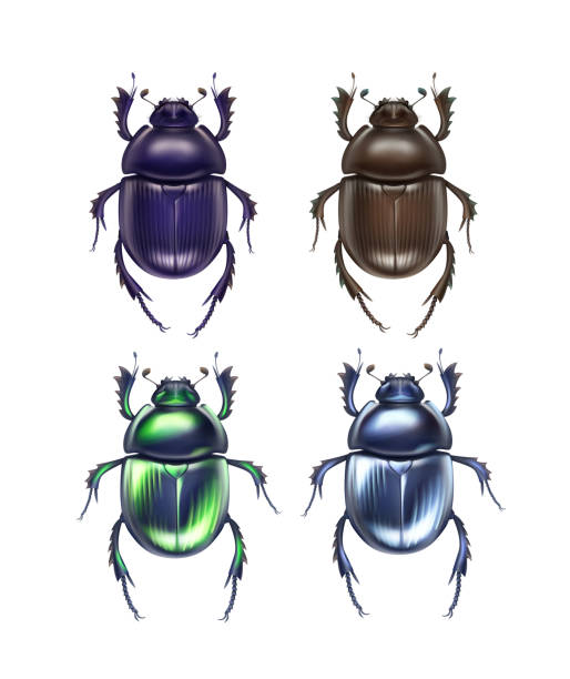 Set of scarab beetles Vector set of different dark blue, brown, green shiny dung beetles Scarabaeus Sacer and Trypocopris vernalis close up top view isolated on white background beetle stock illustrations