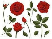 Set of scarlet rose flower parts