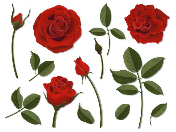 illustrazioni stock, clip art, cartoni animati e icone di tendenza di set of scarlet rose flower parts - rosa rossa