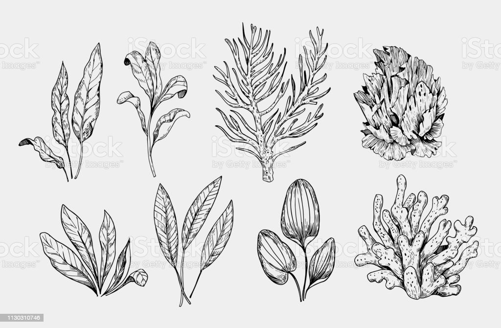 Set Of Sea Plants Corals Algae Hand Drawn Sketch Converted To Vector Stock Illustration Download Image Now Istock