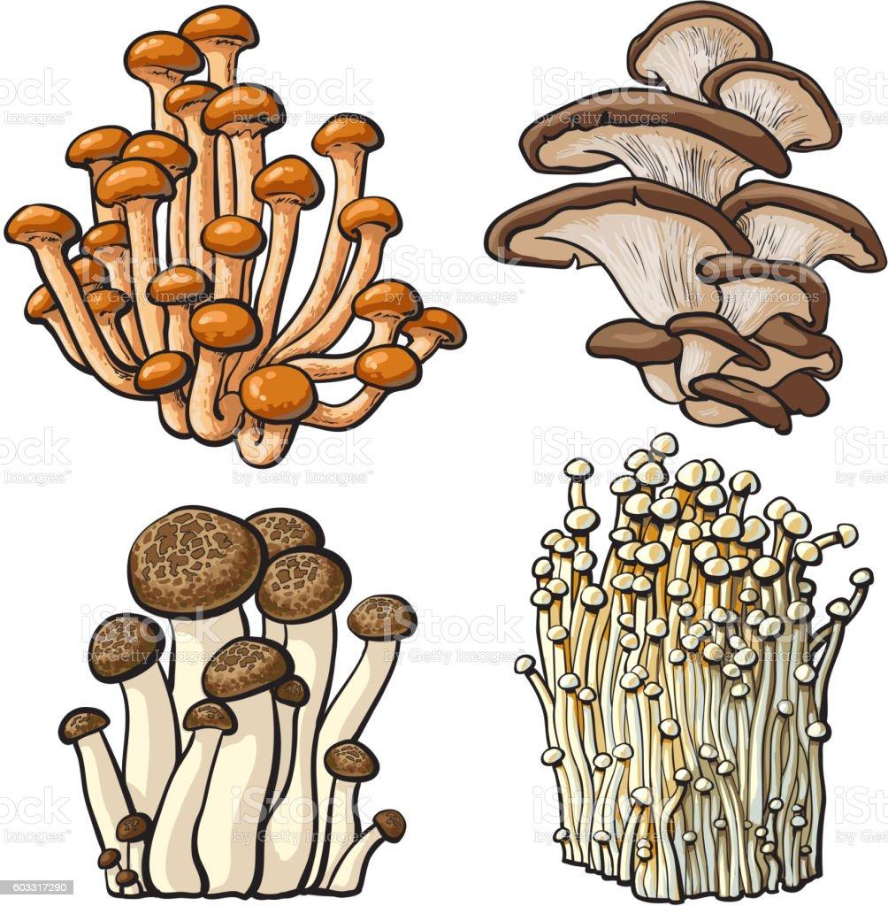 Set of shimeji, oyster, enokitake and king trumpet edible mushrooms vector art illustration
