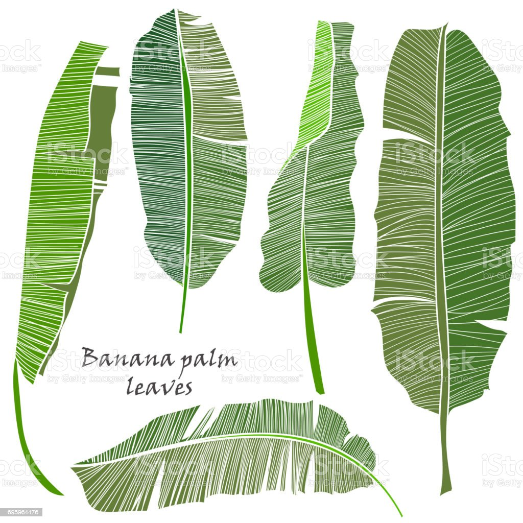 Set of silhouette tropical banana palm leaves green isolated on white background. vector art illustration