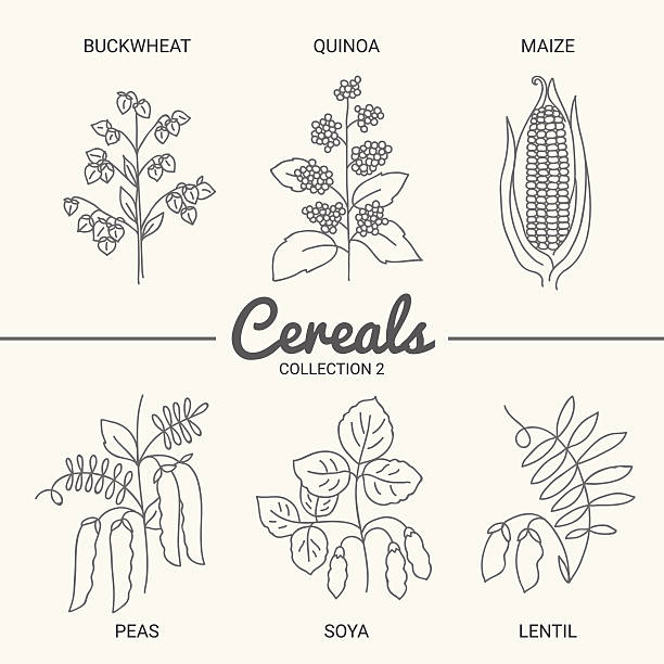 ilustrações de stock, clip art, desenhos animados e ícones de conjunto de seis cereais - quinoa
