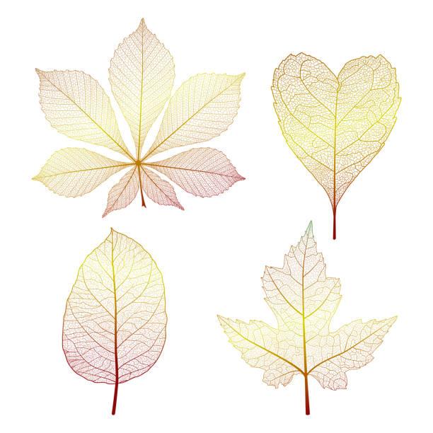 set of skeleton leaves. - предельно крупный план stock illustrations