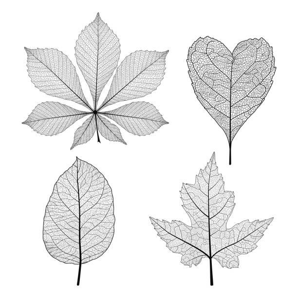 ilustrações de stock, clip art, desenhos animados e ícones de set of skeleton leaves. - macro