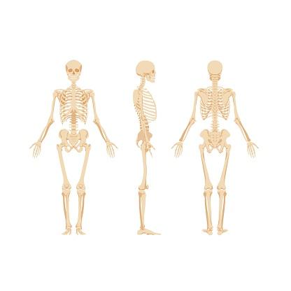Conjunto de esqueletos aislados sobre fondo blanco