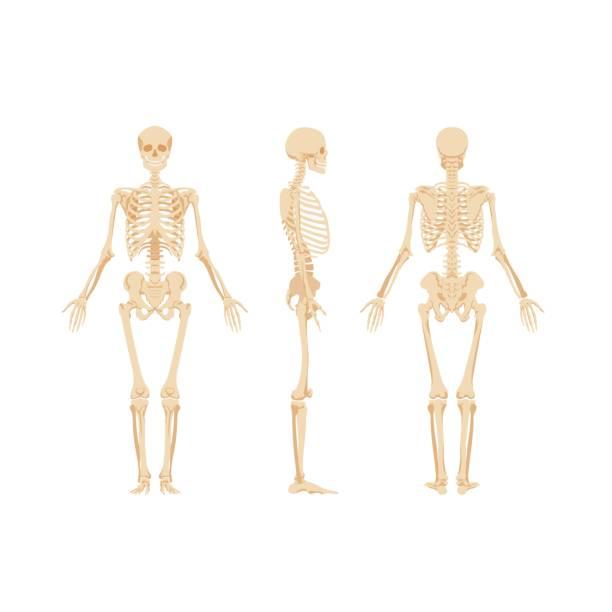 Set of skeletons isolated on white background