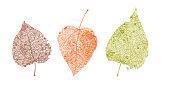 Set of skeletons leaves. Fallen foliage for autumn designs. Natural leaf of aspen and birch. Colored Vector illustration.