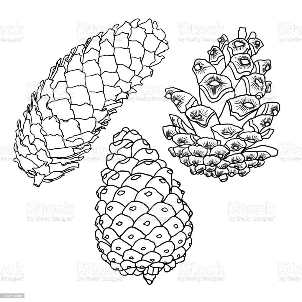 set of sketch hand drawing pine cones on white background collection  set of sketch hand drawing pine cones on white background collection of christmas hand drawn