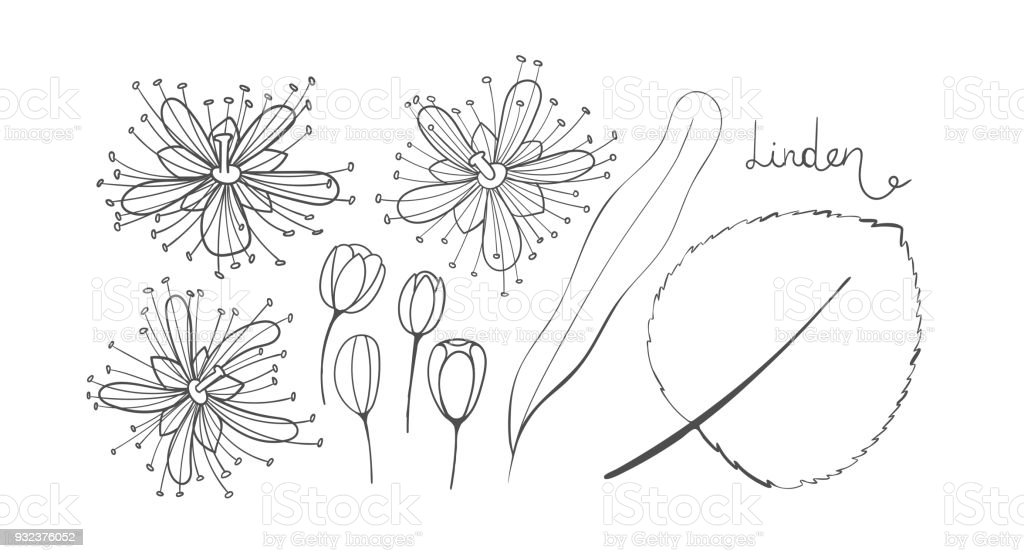 A Set Of Sketch Linden Isolated Elements Outline The Tilia Leaves Flowers