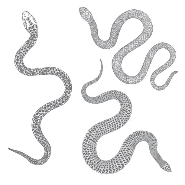 Set of snakes drawing illustration. Black serpent isolated on a white background tattoo design. Venomous reptile, drawn witchcraft, voodoo magic attribute for Halloween.  Vector. Set of snakes drawing illustration. Black serpent isolated on a white background tattoo design. Venomous reptile, drawn witchcraft, voodoo magic attribute for Halloween.  Vector. snake stock illustrations