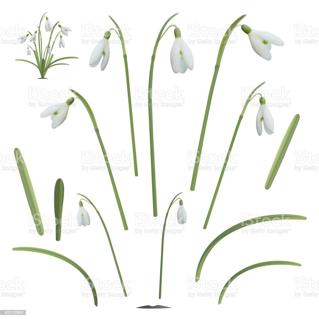 Set of snowdrop flowers elements.