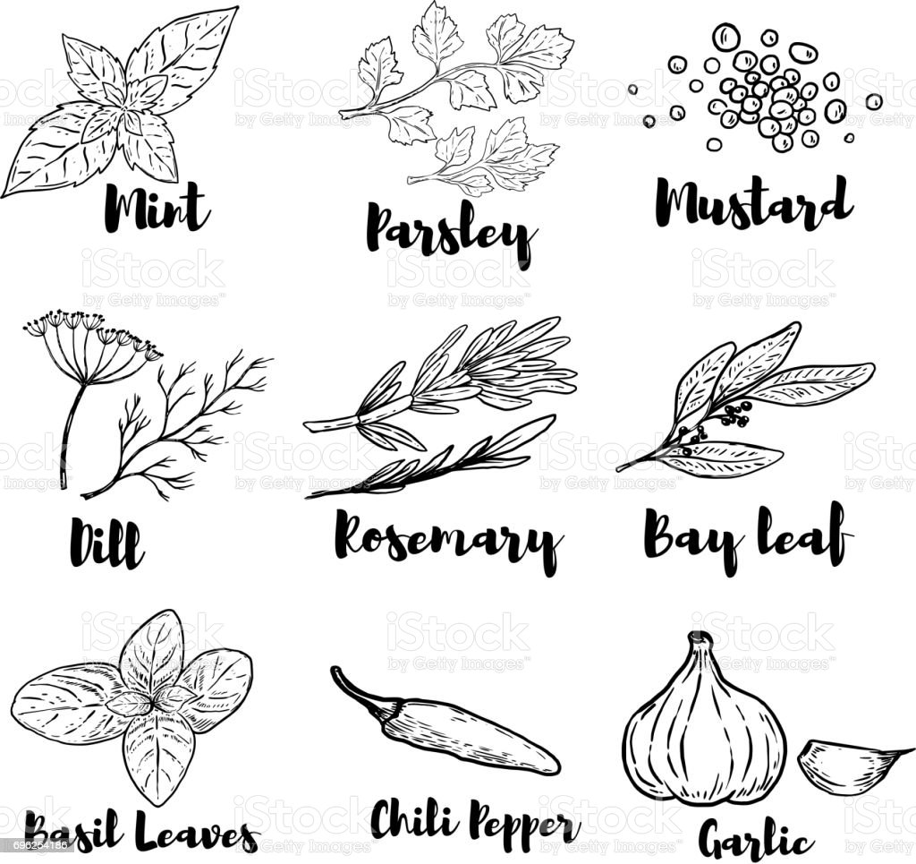 Set of spice and herbs illustrations isolated on white background. Design elements for poster, menu. Vector illustration vector art illustration