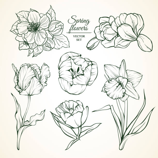 Set of spring flowers magnolia tulip daffodil blossom. Sketch vector illustration. Set of spring flowers magnolia tulip daffodil blossom. Sketch vector illustration mistery stock illustrations