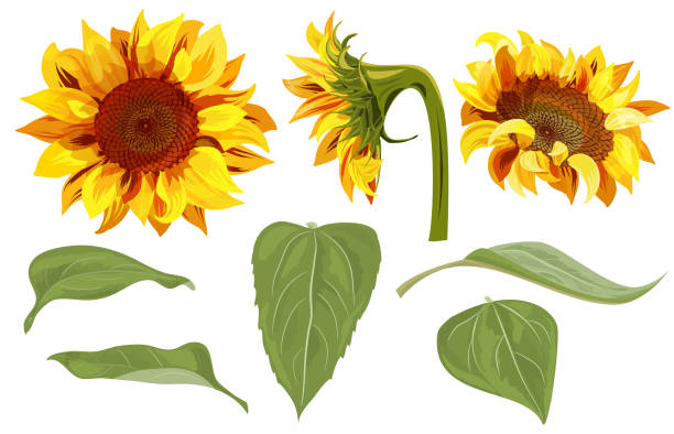 set of sunflower: yellow flowers, bud, green leaves on white background, floral elements for design. digital draw, vector illustration in watercolor style - sunflower stock illustrations