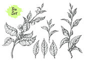 Set of tea bush branches with leaves and flowers on white background. Realistic sketch. Organic product. Vector black silhouette isolated and grouped for easy editing eps.10