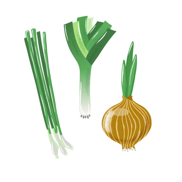 Set of textured bulb, spring and leek onion Set of bulb, spring and leek onion, textured vector illustration isolated on white background. Textured vector illustration of bulb onion, green spring onion and leek or allium scallion stock illustrations