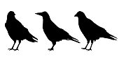 Set of three realistic silhouettes sitting ravens, isolated vector on a white background