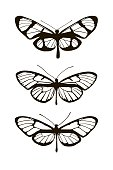 Set of three silhouettes butterflies. The evolution of mimicry. Isolated objects on white background. Vector illustration