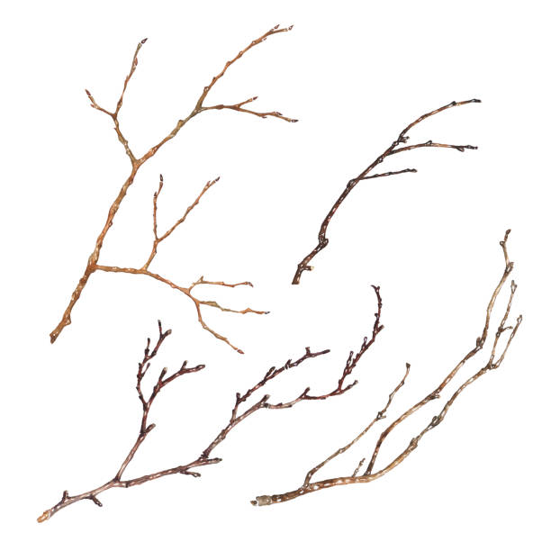 zestaw gałęzi drzew izolowanych na białym tle. ręcznie rysowana ilustracja akwarelowa suchych gałązek bez liści. element wektorowy dekoracji - gałązka stock illustrations