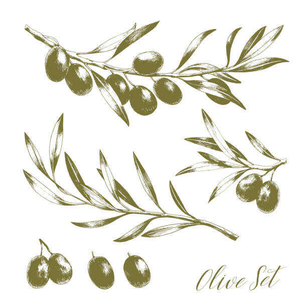 Set of tree branches with leaves and black olives. Set of tree branches with leaves and black olives. Hand drawn vector illustration. Greek food sketch. olives stock illustrations