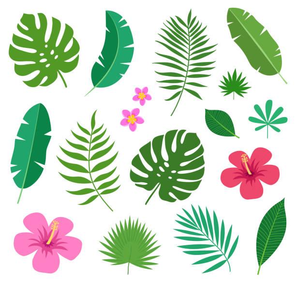 reihe von bunten exotischen tropenpflanzen blätter und blüten von plumeria und hibiskus isoliert auf weißem hintergrund. - hibiskusgarten stock-grafiken, -clipart, -cartoons und -symbole