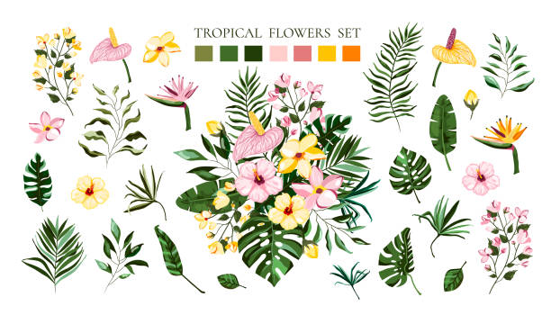 Set of tropical exotic flowers frangipani hibiscus calla green monstera palm leaves Set of tropical exotic flowers frangipani hibiscus calla green monstera palm leaves. Floral bouquets arrangements for wedding invitation save the date card. Vector illustration in watercolor style plumeria stock illustrations