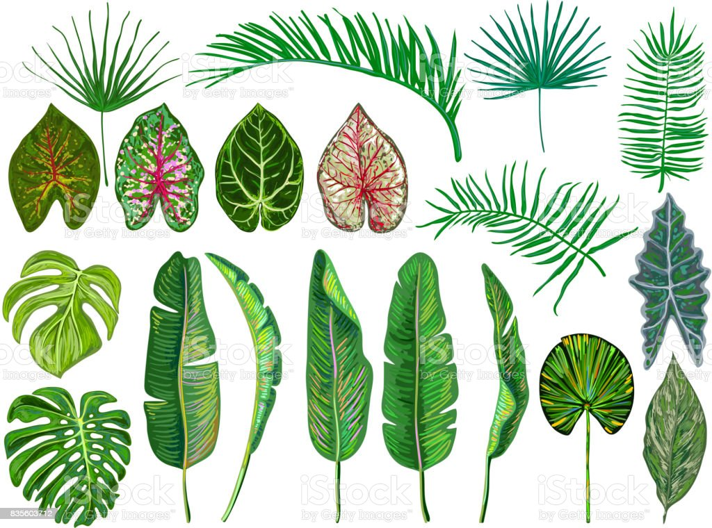 Set of tropical leaves. Jungle vector illustration. Vintage big collection of hand drawn botanical design elements isolated on white. Summer tropical design. Green palm leaves. Beautiful fashion art vector art illustration
