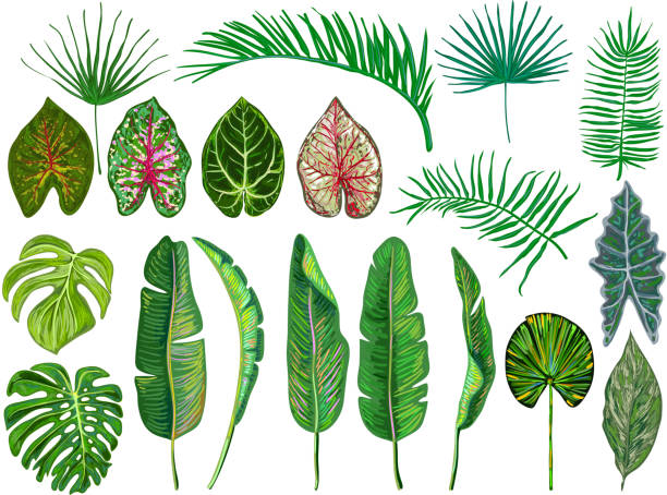 Set of tropical leaves. Jungle vector illustration. Vintage big collection of hand drawn botanical design elements isolated on white. Summer tropical design. Green palm leaves. Beautiful fashion art Set of tropical leaves. Jungle vector illustration. Vintage big collection of hand drawn botanical design elements isolated on white. Summer tropical design. Green palm leaves. Beautiful fashion art banana drawings stock illustrations