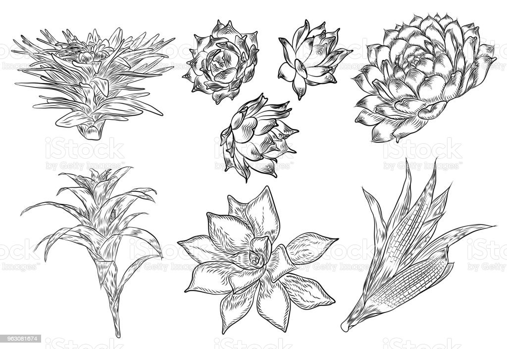 Set Of Tropical Plants Hand Drawing Cactus Flowers Guzmania Echeveria Succulent Vector Stock Illustration Download Image Now Istock