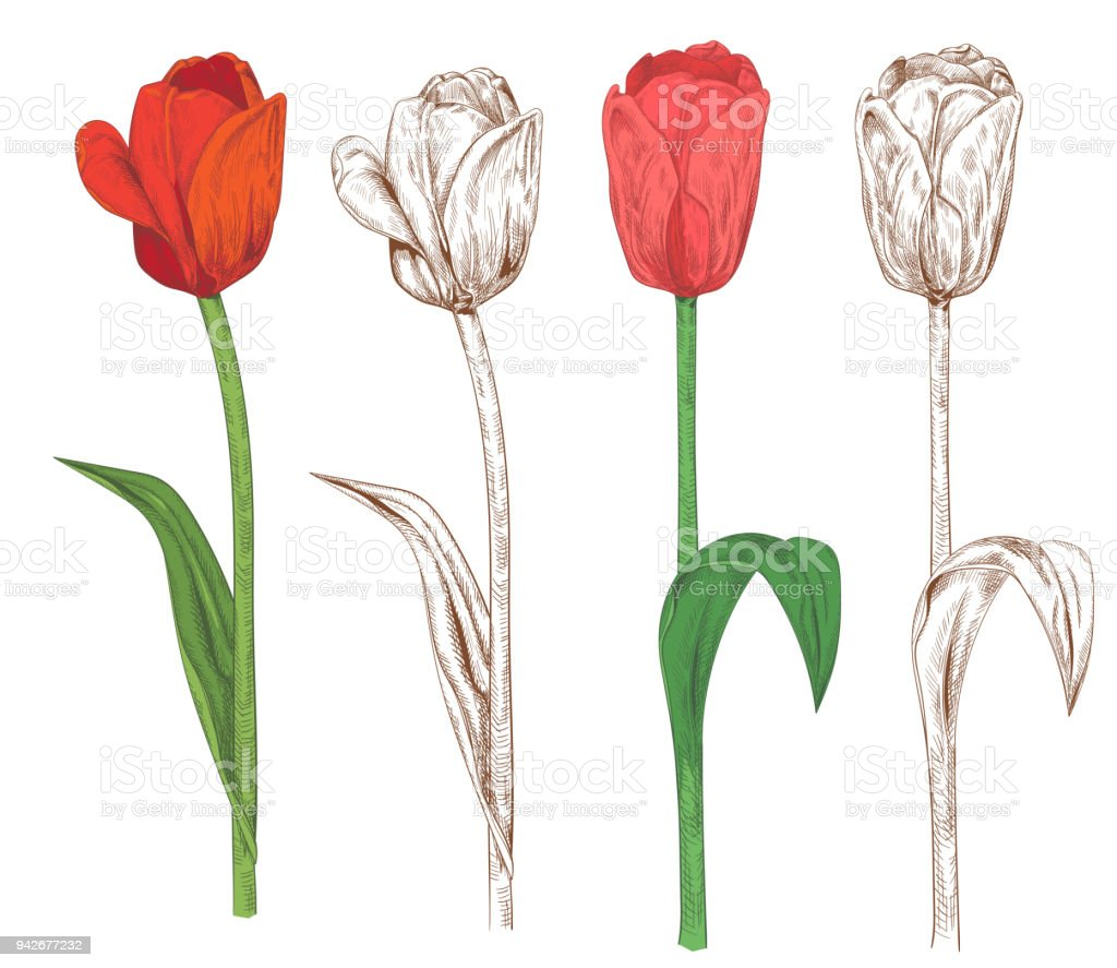 Lale Kümesi Kırmızı Pembe çiçekler Yeşil Yaprakları Beyaz Arka Plan