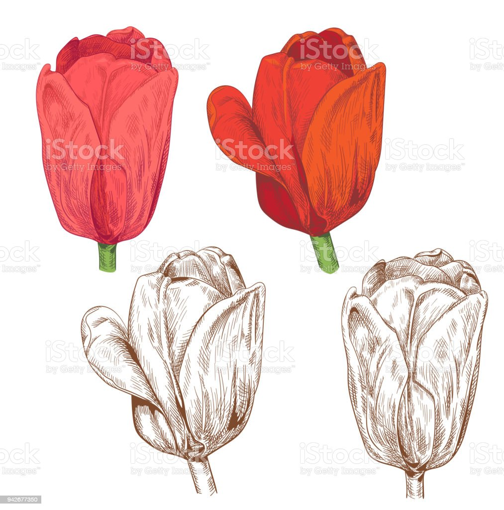 Set Of Tulips Red Pink Flowers Green Leaves Stems On White ...