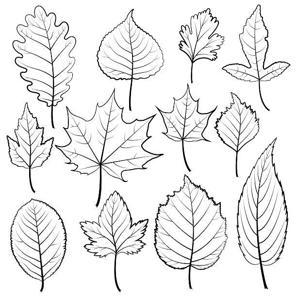 aspen leaf illustrations royaltyfree vector graphics