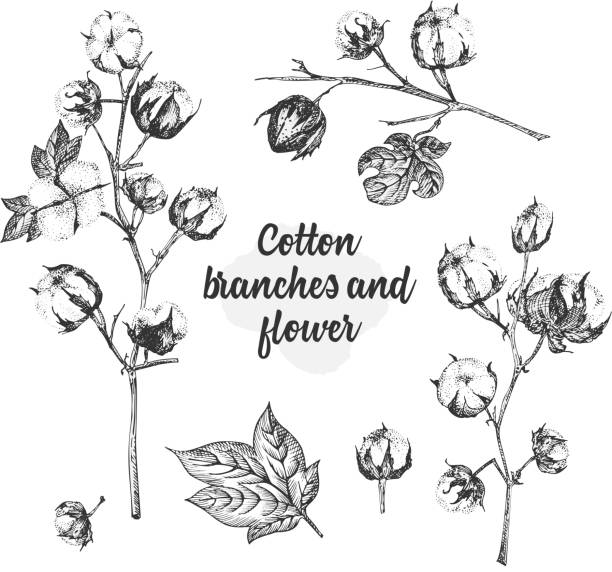 Set of twigs, flowers and leaves of a cotton plant. Hand-drawn sketch botanical illustration. Engraving style. Black and white illustration. Set of twigs, flowers and leaves of a cotton plant. Hand-drawn vintage sketch botanical illustration. Engraving style. Pure organic eco herbs Black and white vector isolated on white backgound. cotton stock illustrations