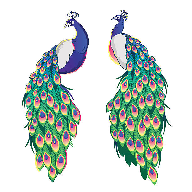 set of two peacocks isolated on white background. - peacock stock illustrations