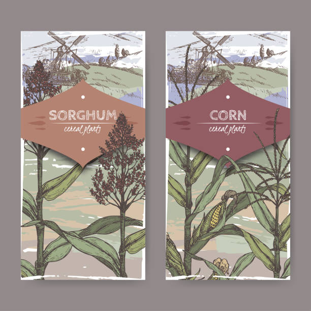 set of two vintage labels with sorghum bicolor and corn aka maize or zea mays color sketch. cereal plants collection. - corn field stock illustrations, clip art, cartoons, & icons
