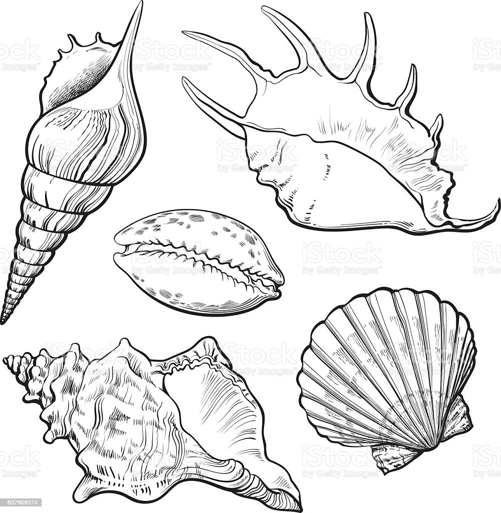 Set of various beautiful mollusk sea shells, isolated vector illustration vector art illustration