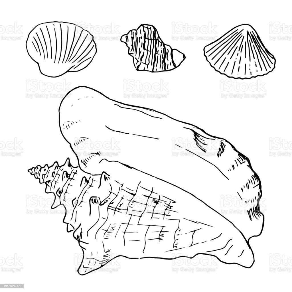 Set Of Various Beautiful Mollusk Sea Shells Sketch Illustration