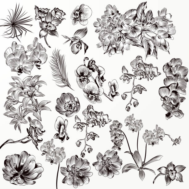 Set of vector detailed orchid flowers Big set or collection of vector hand drawn orchid flowers in engraved style orchid stock illustrations