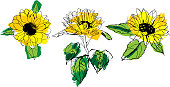 Set of vector drawings of yellow sunflowers with green leaves